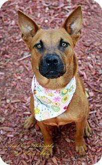 Basenji/Shepherd (Unknown Type) Mix Dog for adoption in Norman, Oklahoma - Henryetta
