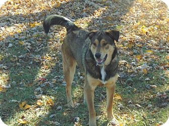 Shepherd (Unknown Type) Mix Dog for adoption in Portland, Maine - Lucy