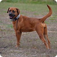 Adopt A Pet :: Bella - Lebanon, MO