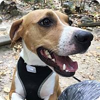 Adopt A Pet :: Laila (COURTESY POST) - Baltimore, MD