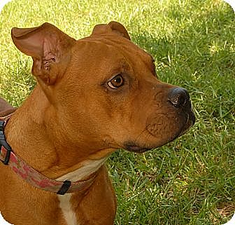 American Staffordshire Terrier Dog for adoption in Bryan, Texas - Kayla