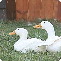 Adopt A Pet :: Disabled Pekin Ducks - Indian Trail, NC