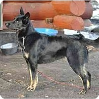 Adopt A Pet :: Macie - Hamilton, MT