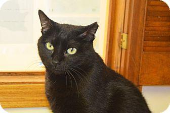 Domestic Shorthair Cat for adoption in Lincoln, Nebraska - Elvira