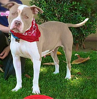English Bulldog/American Pit Bull Terrier Mix Dog for adoption in Burbank, California - Beautiful Fiona-VIDEO