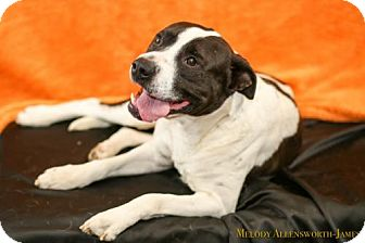 American Pit Bull Terrier Dog for adoption in Fayetteville, Arkansas - Chevy