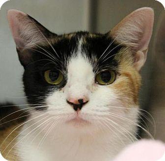 Domestic Shorthair Cat for adoption in Hilton Head, South Carolina - Coconut