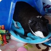 Adopt A Pet :: Kovaks - Fullerton, CA