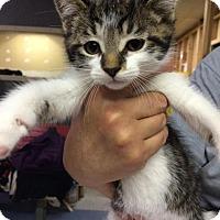 Domestic Shorthair Kitten for adoption in Saginaw, Michigan - Irwin