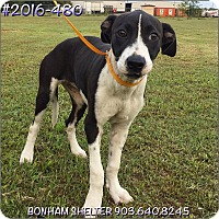 Adopt A Pet :: 2016-480 - Bonham, TX