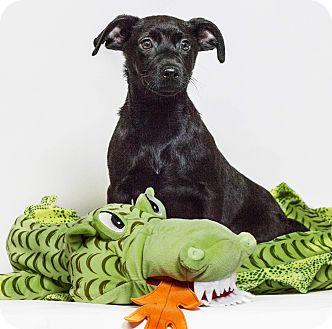 Labrador Retriever Mix Puppy for adoption in Yelm, Washington - Cabella