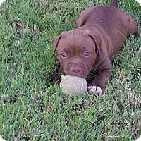 Pit Bull Terrier/Boxer Mix Puppy for adoption in Phoenix, Arizona - Bear