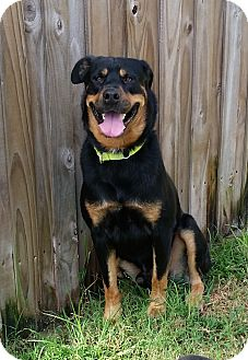 Rottweiler Dog for adoption in Seffner, Florida - Junior