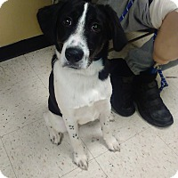 Border Collie Mix Dog for adoption in Kendall, New York - Snoopy