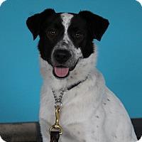 Border Collie/Blue Heeler Mix Dog for adoption in Chicago, Illinois - Otis