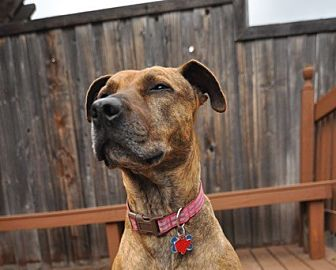 Shepherd (Unknown Type) Mix Dog for adoption in Nashville, Tennessee - Ruby