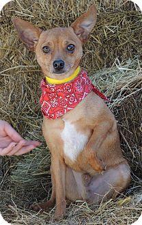 Chihuahua Mix Dog for adoption in Joplin, Missouri - Tamale