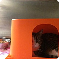 Domestic Shorthair Cat for adoption in Janesville, Wisconsin - Wren