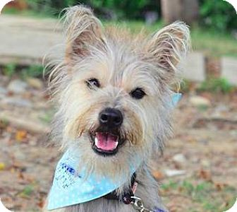 Terrier (Unknown Type, Medium)/Yorkie, Yorkshire Terrier Mix Dog for adoption in San Ramon, California - Woody