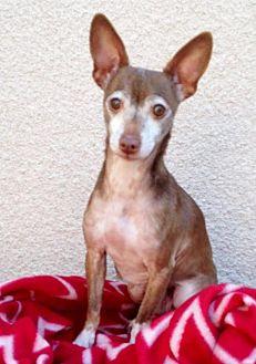 Chihuahua Dog for adoption in San Diego, California - Sundae