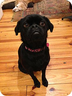 Pug Mix Dog for adoption in Austin, Texas - Zoey