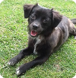 Pomeranian Mix Puppy for adoption in Hamilton, Ontario - Cherry