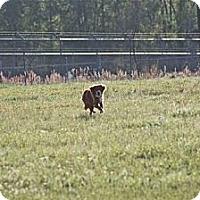 Adopt A Pet :: Scarlett Wilder - Southampton, PA