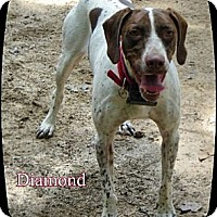 Adopt A Pet :: Diamond - Franklinton, NC