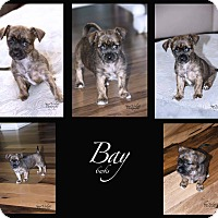 Adopt A Pet :: BAY - Fort Worth, TX
