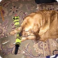 Adopt A Pet :: Jessie - Fayetteville, AR