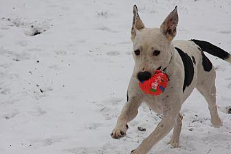 Great Dane/Labrador Retriever Mix Dog for adoption in Tuscola, Texas - Dixie