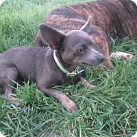 Adopt A Pet :: Rudy Chihuahua & Molly Basset - Copperas Cove, TX
