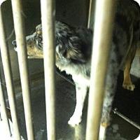 Adopt A Pet :: aussie - Upper Sandusky, OH