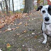 Adopt A Pet :: Short Stack Chip - New Castle, PA