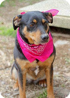 Miniature Pinscher Mix Dog for adoption in Dalton, Georgia - Gabi