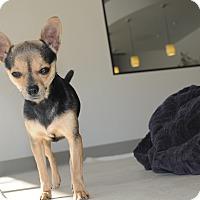 Adopt A Pet :: Millie - Agoura Hills, CA