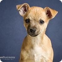 Adopt A Pet :: Tanner - Chandler, AZ
