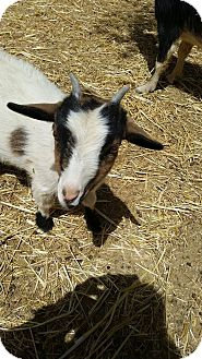Goat for adoption in Palmdale, California - Sweetaire Ranch Annie Oakley