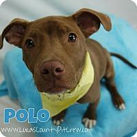 Adopt A Pet :: Polo - Toledo, OH