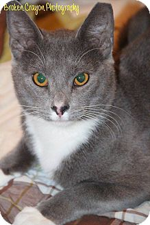 Russian Blue Cat for adoption in Vass, North Carolina - Puss In Boots