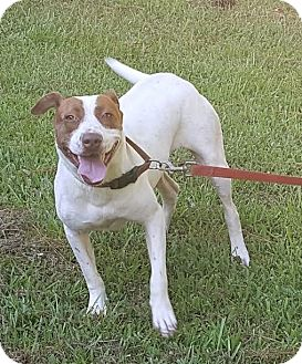 Labrador Retriever/Terrier (Unknown Type, Medium) Mix Dog for adoption in Manchester, New Hampshire - Patty - pending