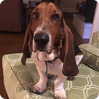 Adopt A Pet :: Duke of Bexar - Houston, TX