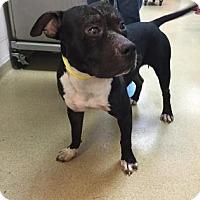 Adopt A Pet :: Scar Face - Miami, FL