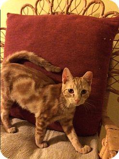 Domestic Shorthair Kitten for adoption in Gettysburg, Pennsylvania - Killian