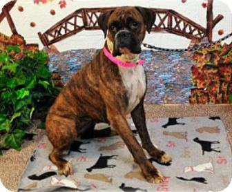 Boxer Dog for adoption in Austin, Texas - Rabbit