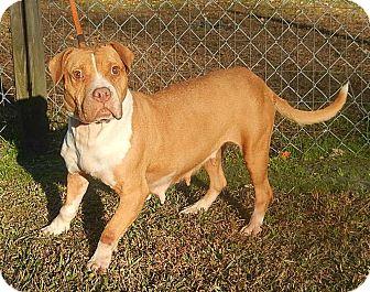 Pit Bull Terrier/Basset Hound Mix Dog for adoption in Newport, North Carolina - Emma