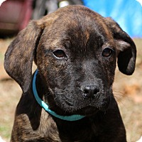 Adopt A Pet :: Stevie~ adopted! - Glastonbury, CT