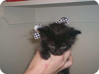 Domestic Longhair Kitten for adoption in Austin, Texas - Mellie