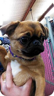 Japense Chin And Pug Mix | Dog Breeds Picture