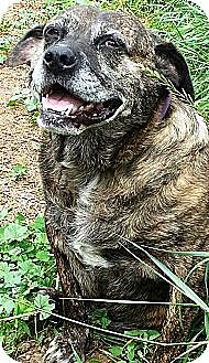 Pit Bull Terrier Mix Dog for adoption in Battle Creek, Michigan - Meme